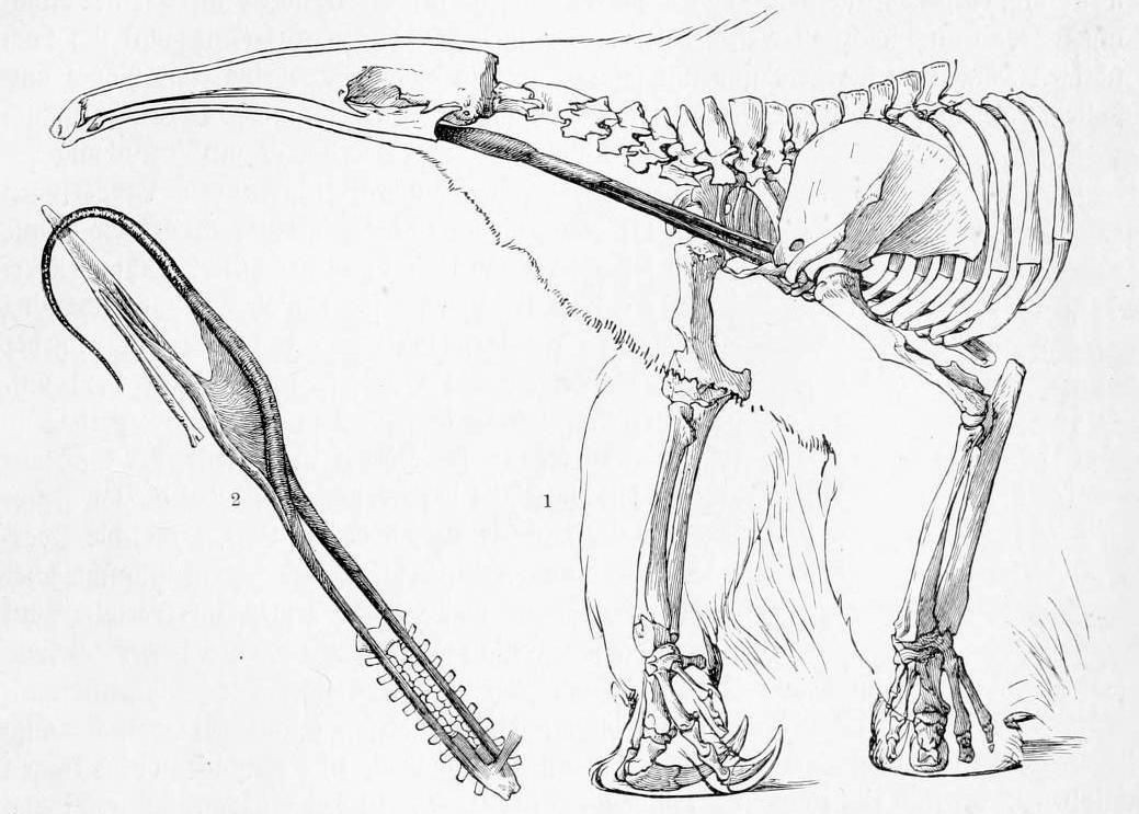Anteater Skeleton And Tongue Anatomy