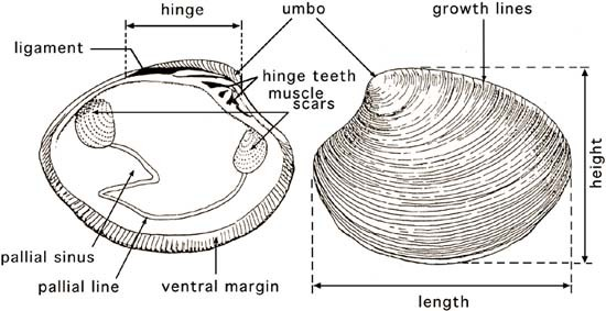 Bivalves Shellfish Anatomy