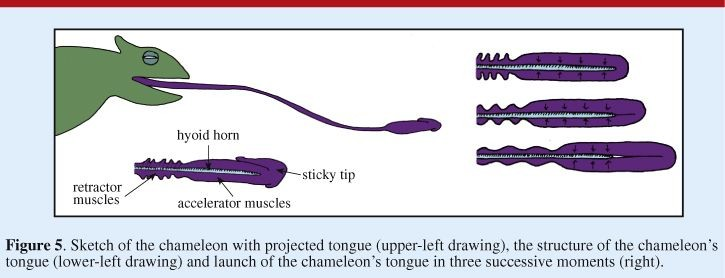Chameleon Tongue Diagram