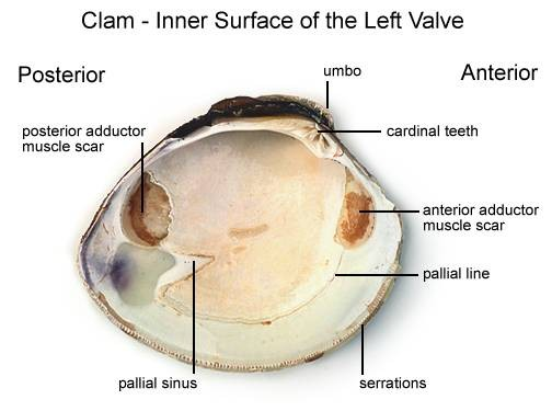 Clam Inner Surface Of The Left Valve