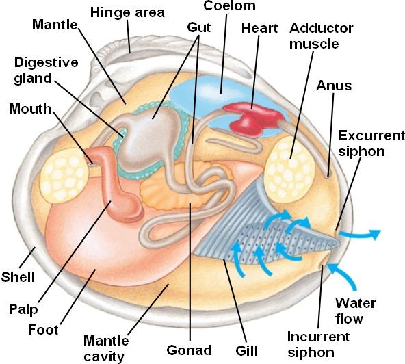 Clam Shellfish Anatomy Diagram