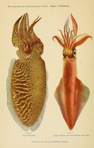 Cuttlefish And Squid Anatomy Diagram