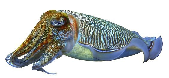 Cuttlefish External Anatomy