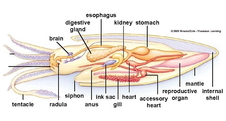 Cuttlefish Internal Organ Anatomy Diagram