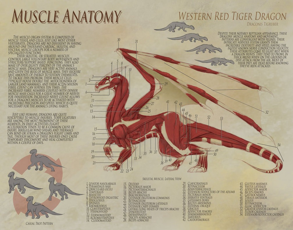 Dragon Anatomy Muscle Detail