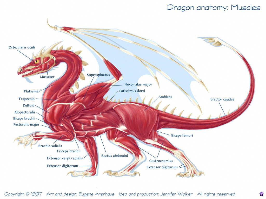 Dragon Anatomy Muscle Diagram