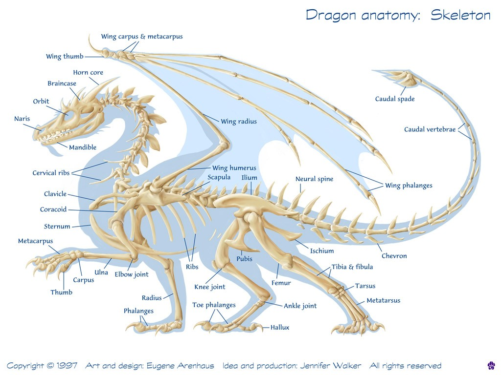 Dragon Anatomy Skelton Diagram