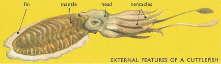 External Features Of A Cuttlefish Diagram