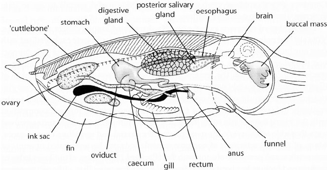 Generalised Anatomy Of A Cuttlefish Diagram