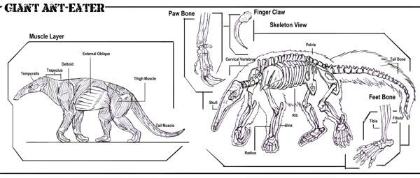 Giant Anteater Anatomy Diagram