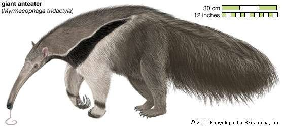 Giant Anteater External View
