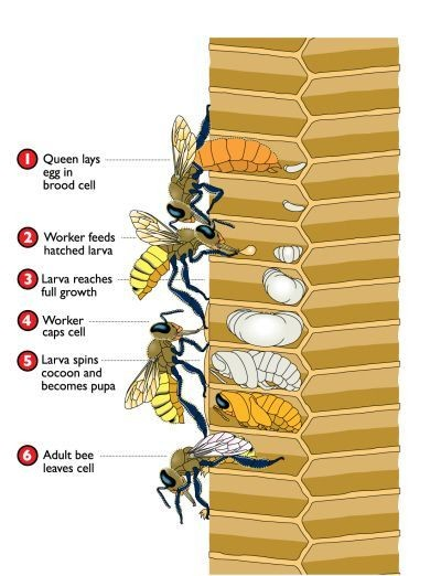Honey Bee And Cell Anatomy Diagram