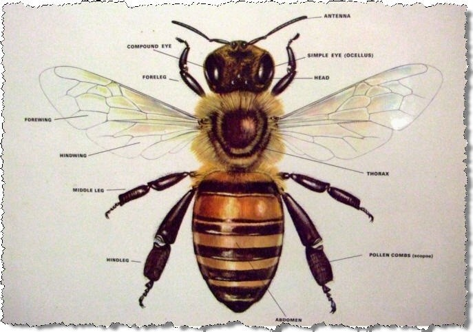 Honey Bee Dorsal View Diagram