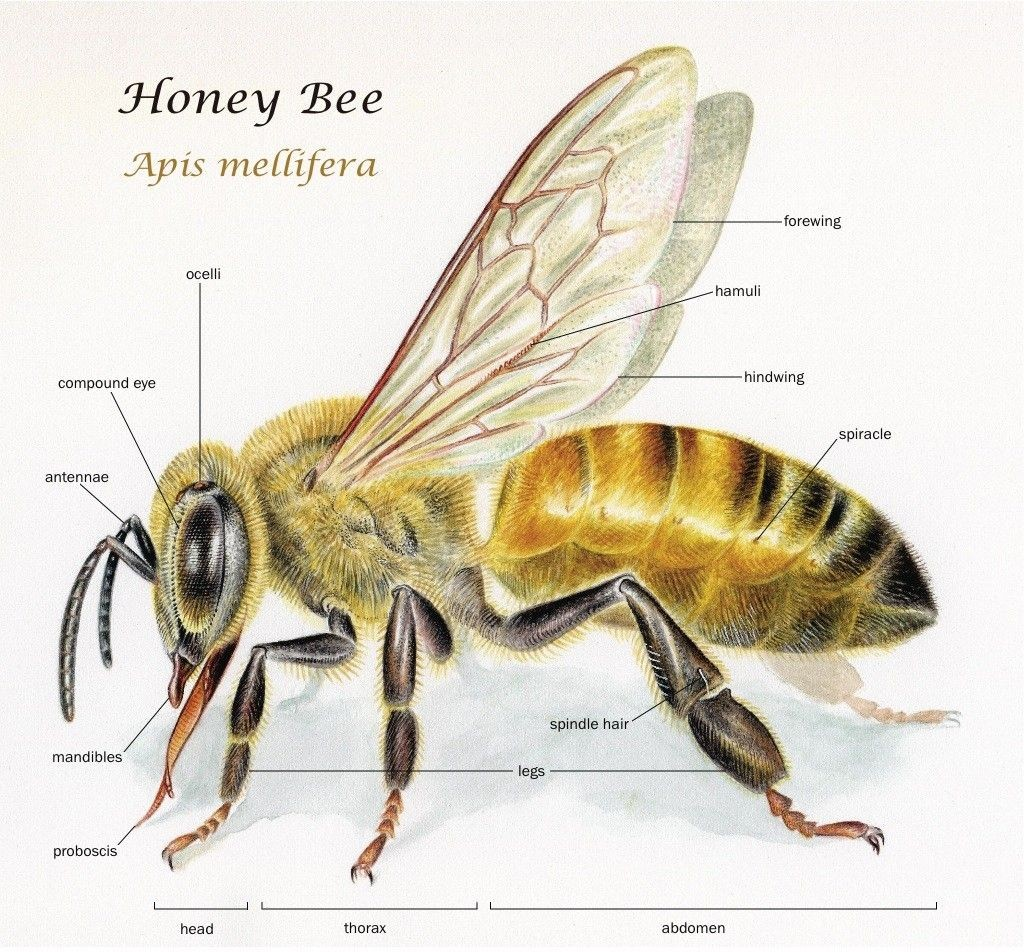 Honey Bee External View Diagram