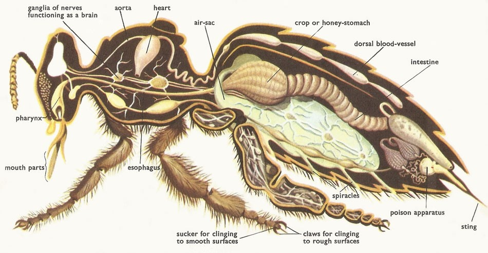 Honey Bee Internal Organ Anatomy Diagram