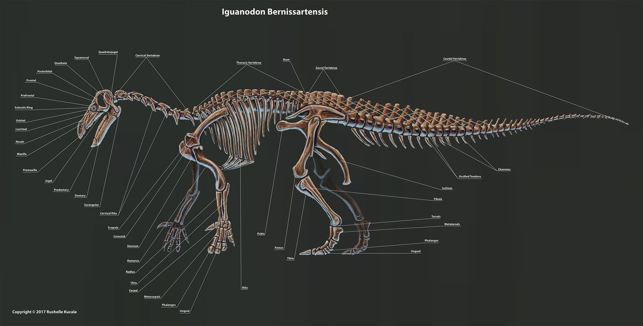 Iguanodon Bernissartensis Skeleton Anatomy