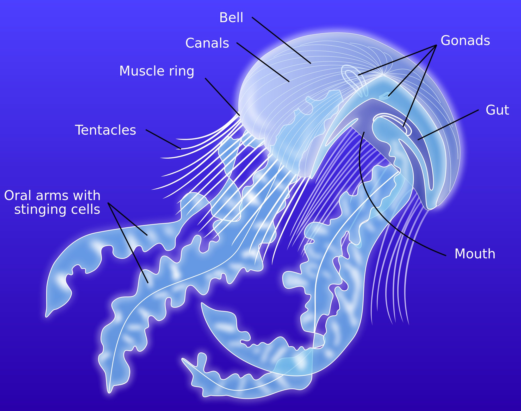 Jellyfish External Anatomy Diagram