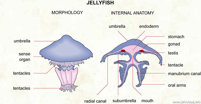 Jellyfish External View And Sectional View Diagram