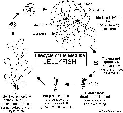 Lifecycle Of The Medusa Jellyfish Diagram