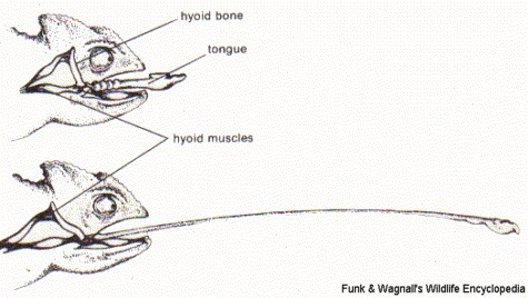 Mechanisms Of A Chameleon's Tongue Diagram