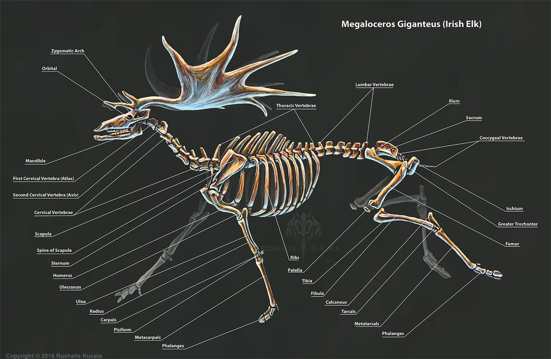 Megaloceros Giganteus Irish Elk Skeleton Anatomy