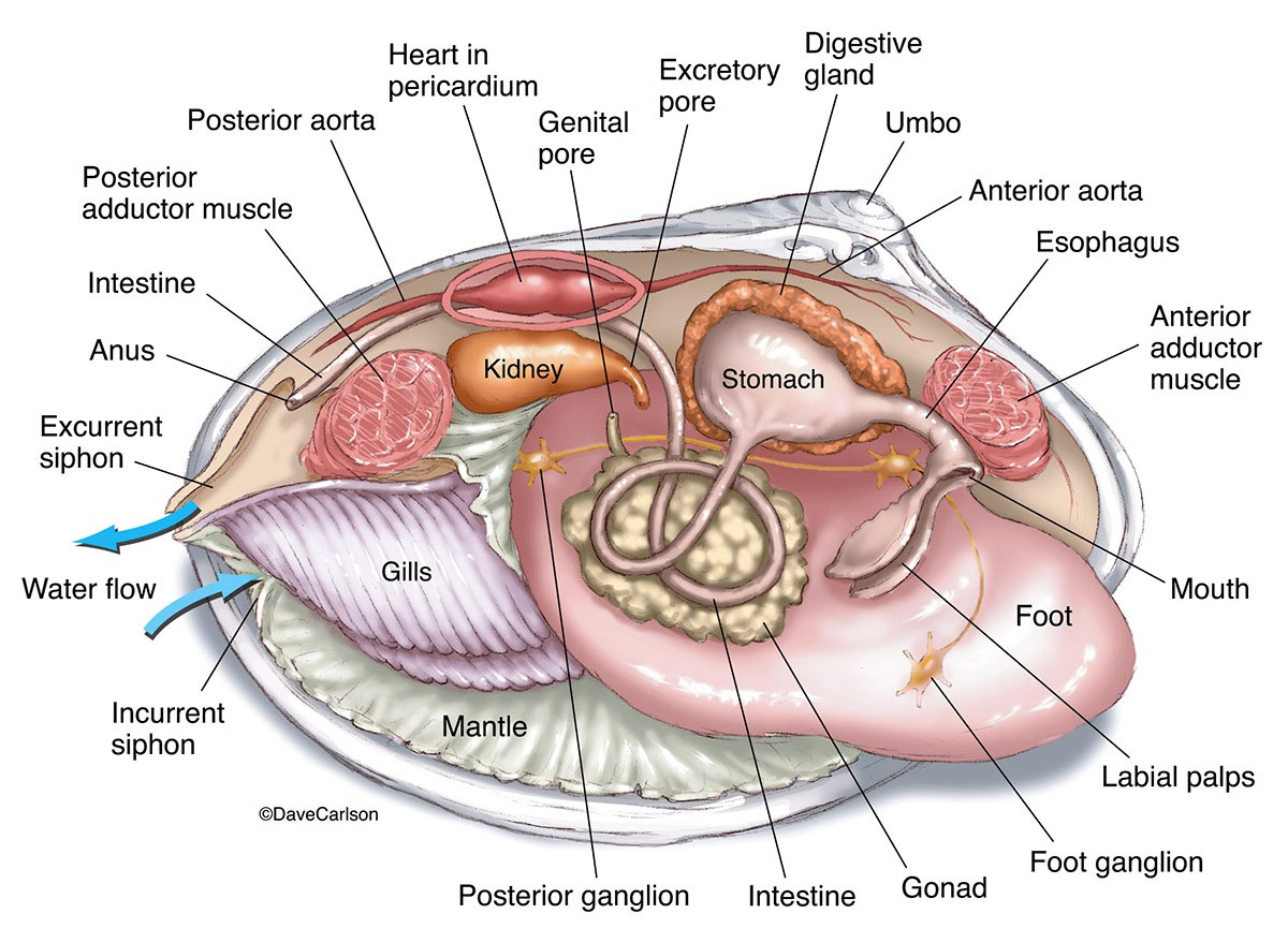 Mollusk Shellfish Anatomy Diagram