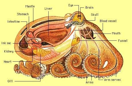 Octopus Sectional Anatomy Diagram