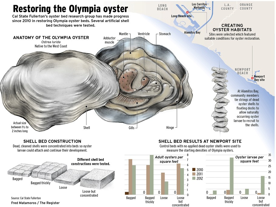 Olympia Oyster Diagram