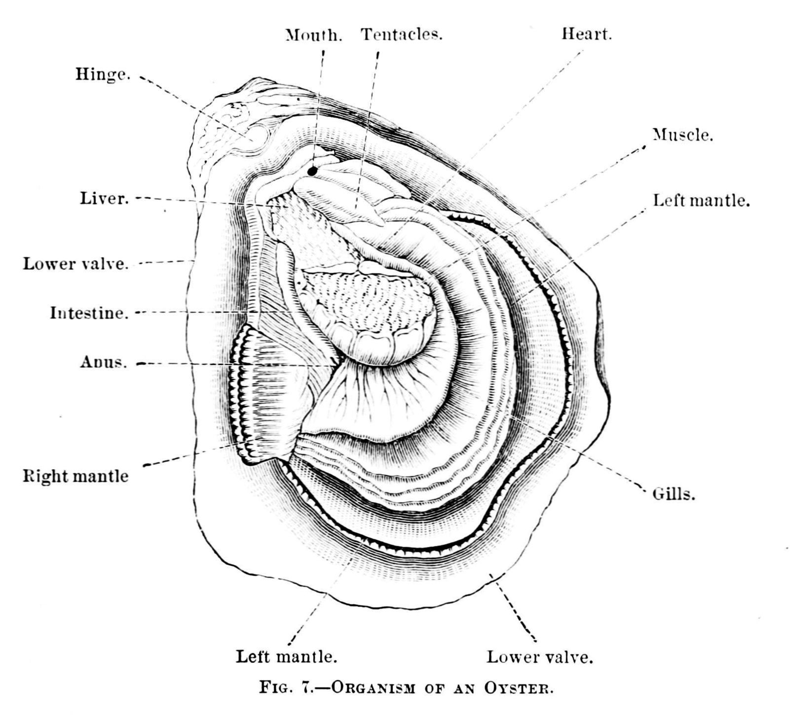 Organism Of An Oyster Diagram