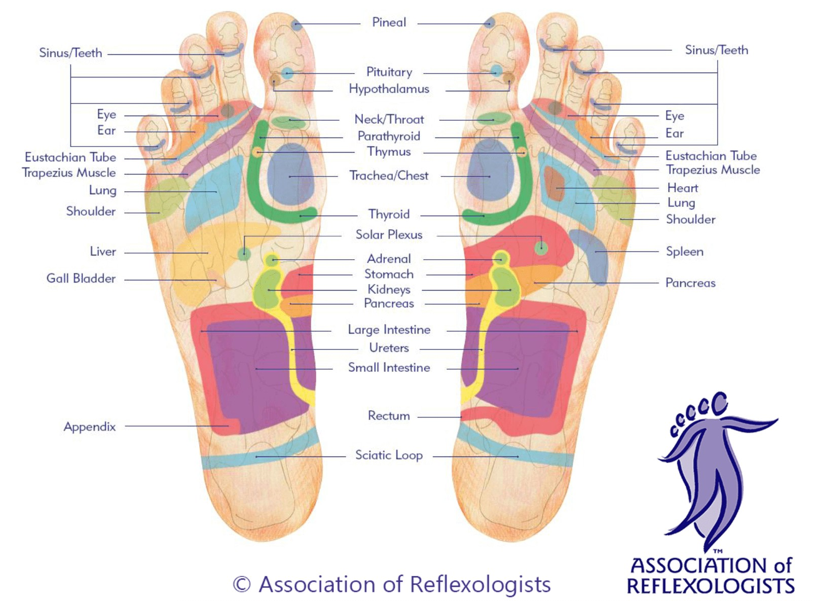 Reflexology On Foot Diagram