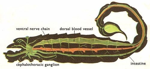 Scorpion Internal Organ Anatomy Diagram