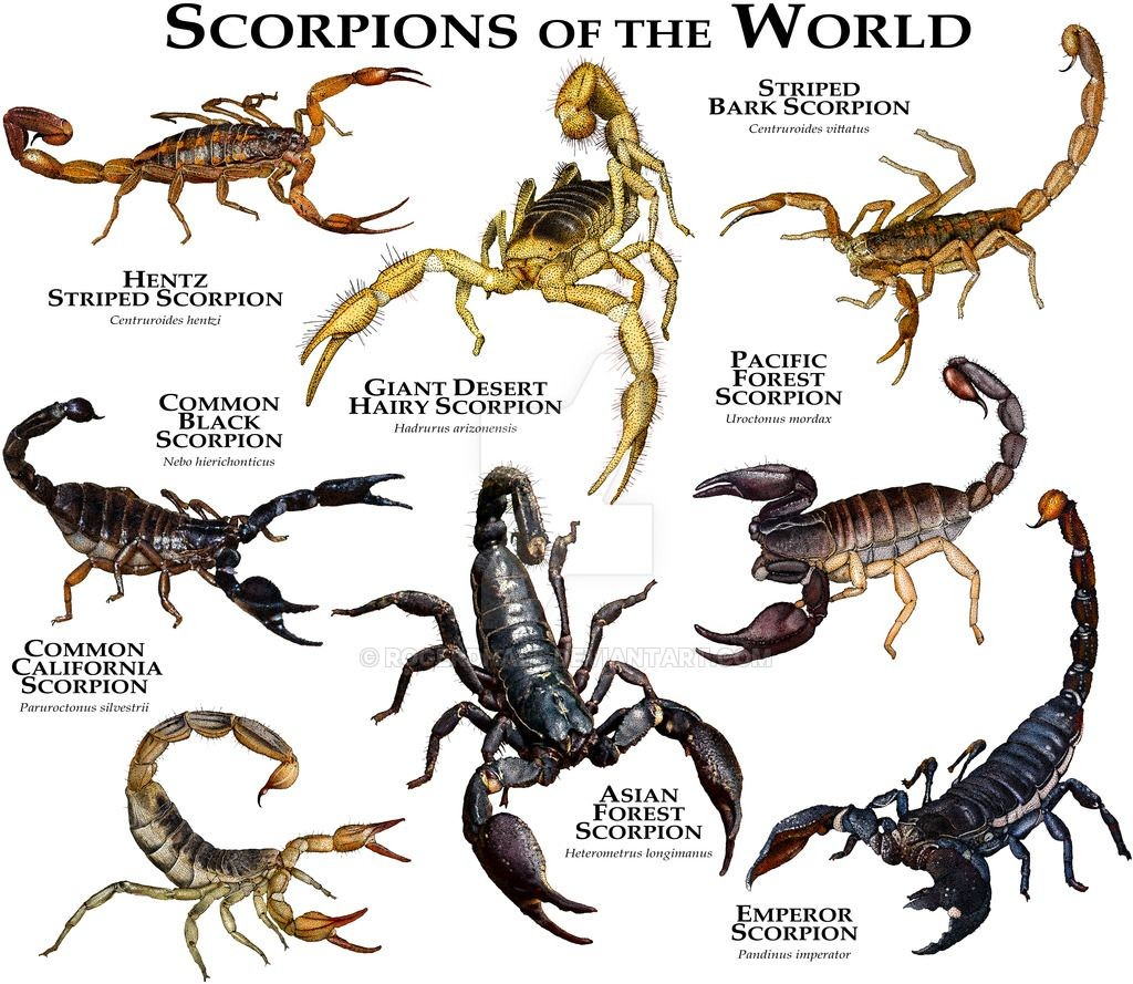 Scorpion Of The World Diagram