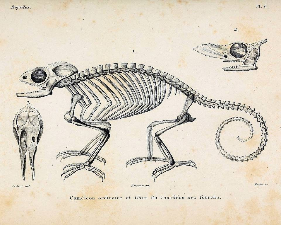 Chameleon Skeleton Anatomy Diagram