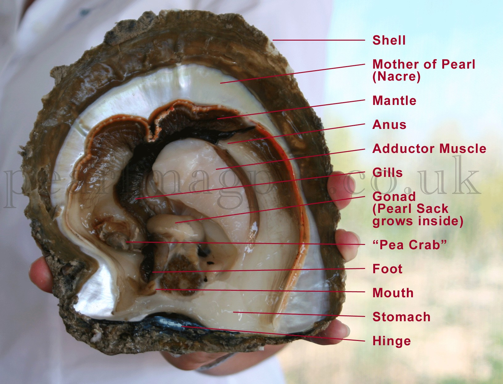 Silver Lip Pearl Oyster Internal Organ Anatomy Diagram