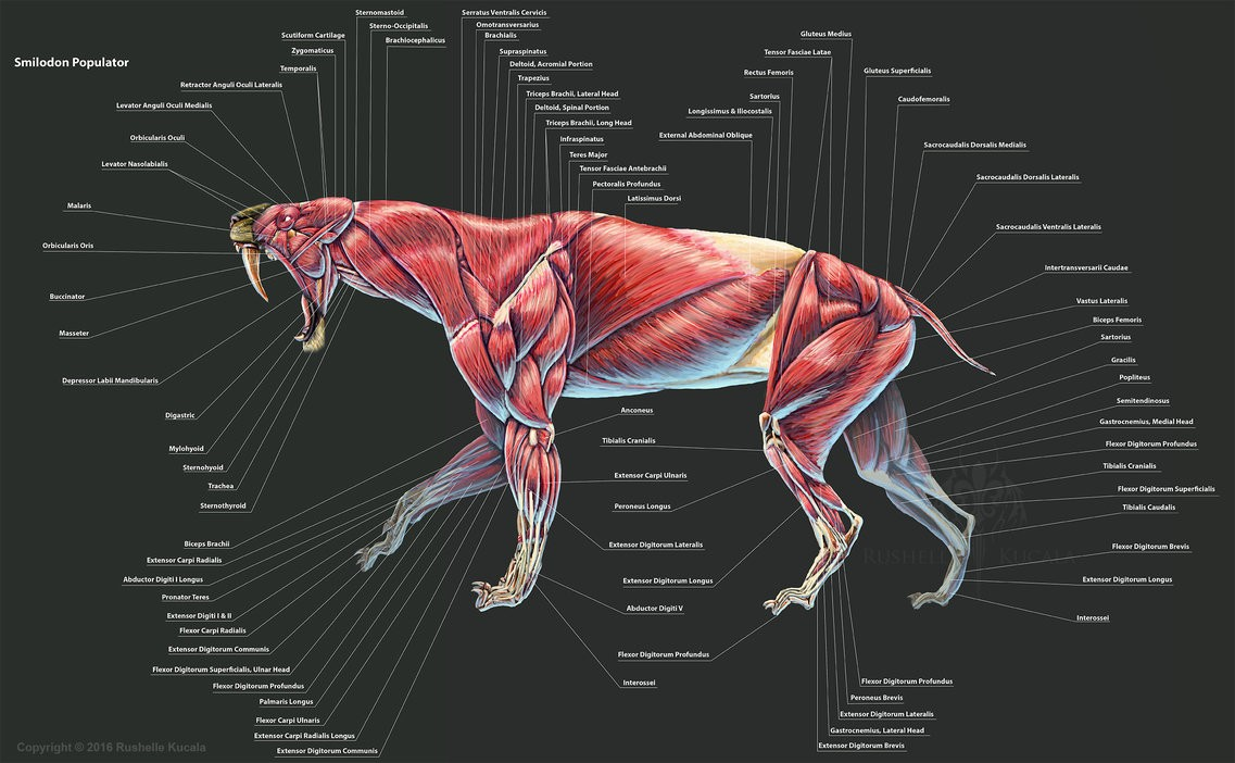 Smilodon Populator Muscle Diagram