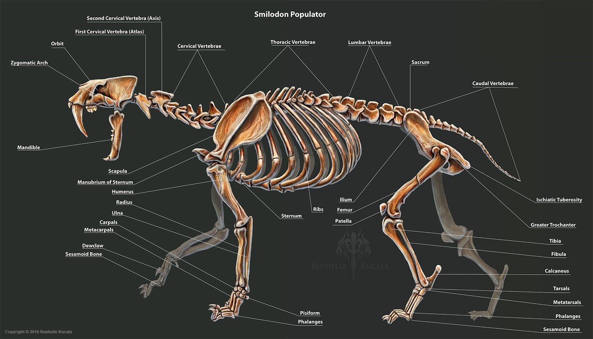 Smilodon Populator Skeleton Anatomy
