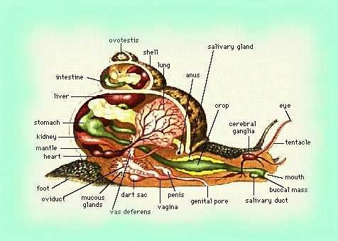 Snail Sectional View