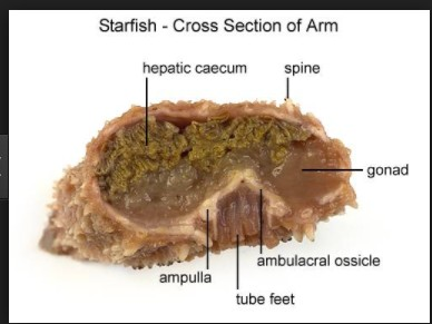 Starfish Cross Section Of Arm Diagram