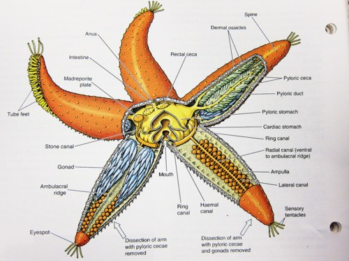 Starfish Internal Organ Anatomy Diagram
