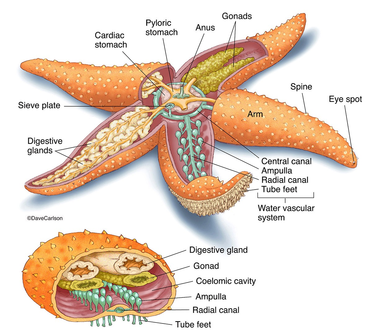 Starfish Sea Star Anatomy