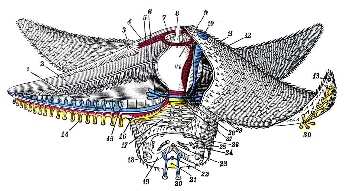 Starfish Sectional Anatomy