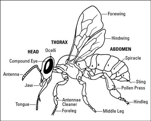 The Anatomy Of Bees Gross View Diagram
