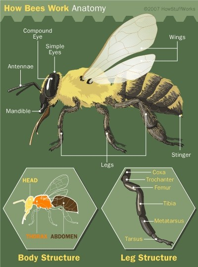 The Anatomy Of The Bees Diagram