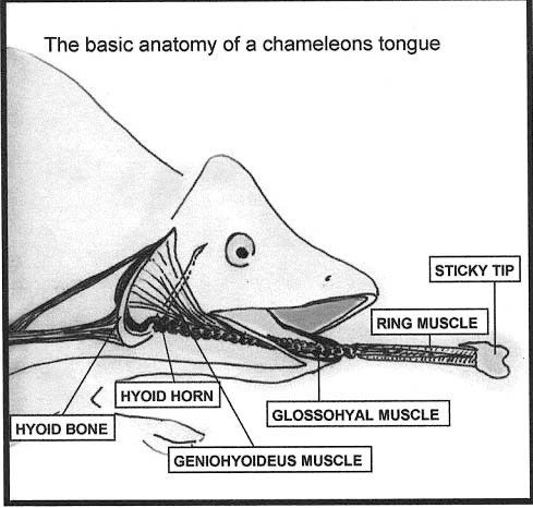 The Basic Anatomy Of A Chameleons Tongues Diagram