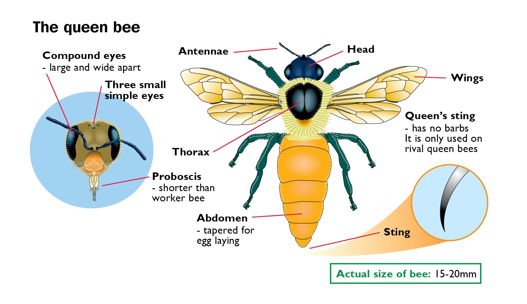 The Queen Bee Anatomy Diagram