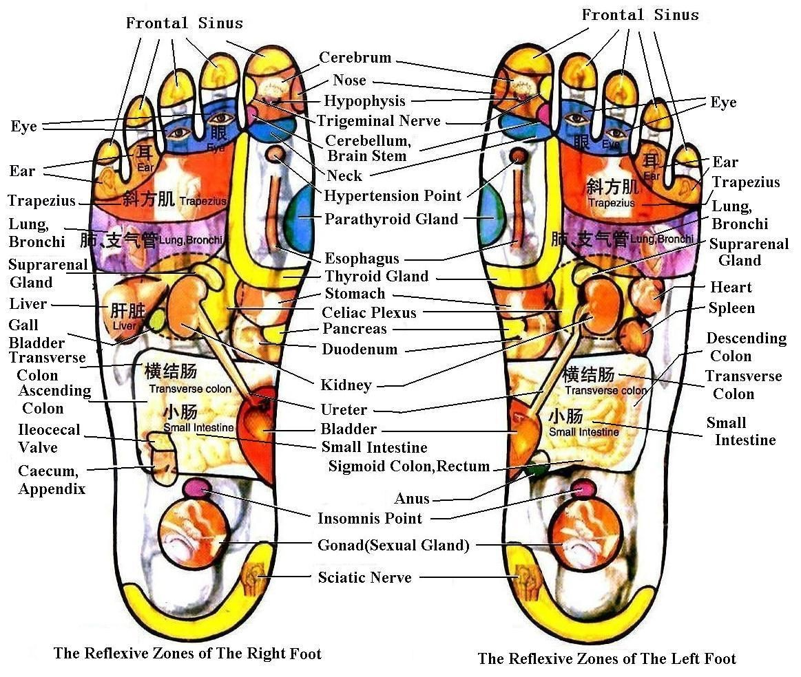 The Reflexive Zones Of The Right Foot And Left Foot
