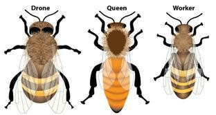 Three Types Of Bee Anatomy Dorsal View Diagram