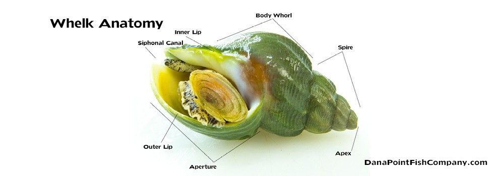 Whelk Shellfish Anatomy