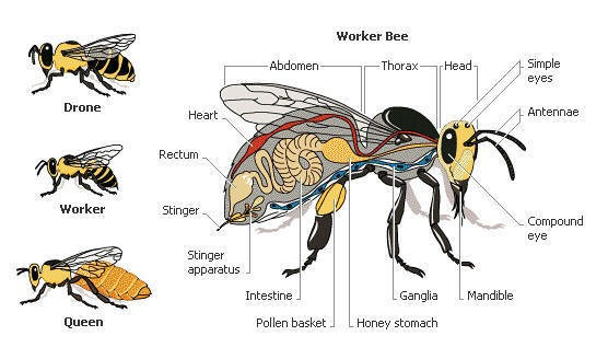 Worker Bee And Queen Bee, Drone Bee Anatomy Diagram