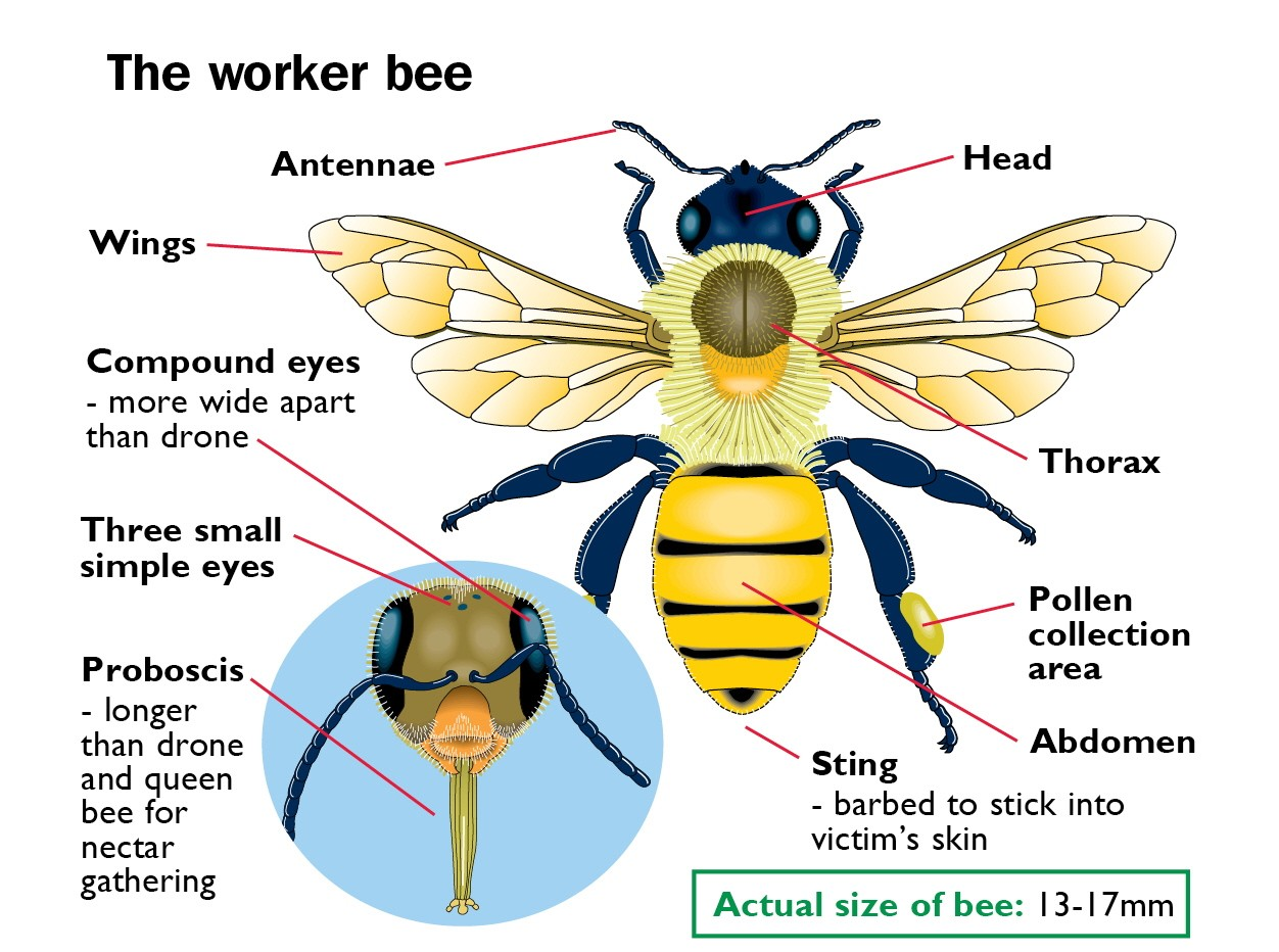Worker Bee Dorsal View And Head Anatomy Diagram